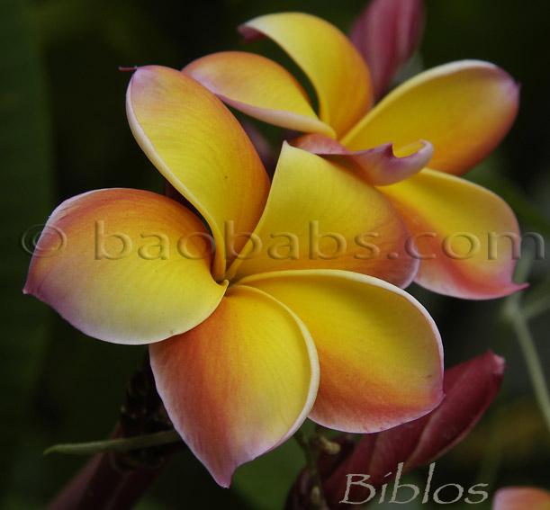 "Two 8-12/"" cuttings Rare Champa Plumeria fragrant flower white w//yellow star"